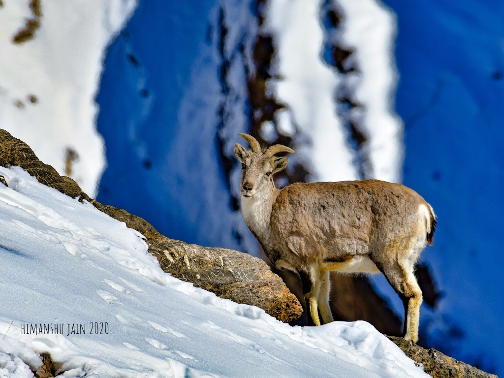 Blue Sheep Himalayas
