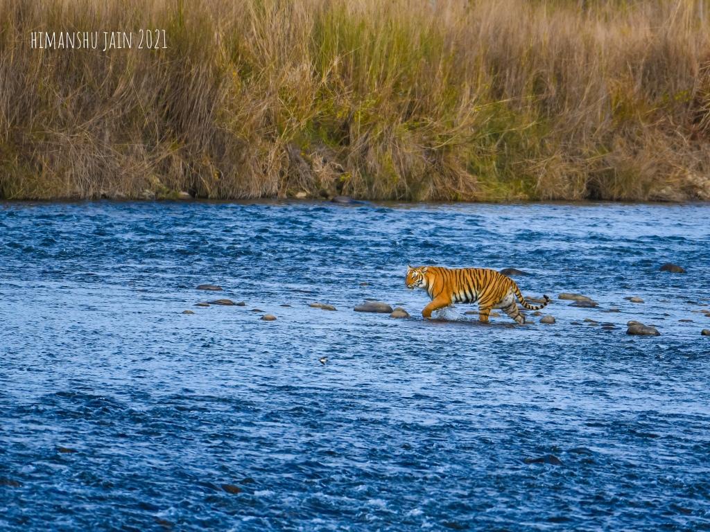 Tiger crossing river